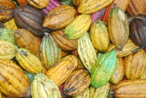 Cabosse Cacao République Dominicaine