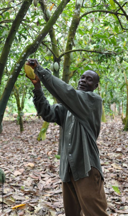 cacao producteur