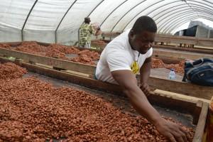 Feccano cacao haiti